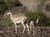 Grant's Gazelle (Gazella Granti) Female and Calf  Samburu National Reserve  Kenya  East Africa
