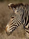 Grevy's Zebra (Equus Grevyi)  Samburu National Reserve  Kenya  East Africa  Africa