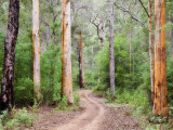 Karri Forest  Warren National Park  Western Australia  Australia  Pacific