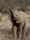 Baby African Elephant (Loxodonta Africana)  Samburu National Reserve  Kenya  East Africa  Africa