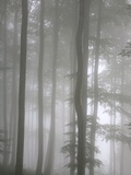 Trees in Fog  Saint-Jean-Pied-De-Port  Pyrenees Atlantique  France  Europe