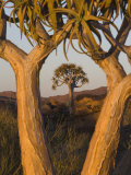 Quiver Trees (Kokerboom) (Aloe Dichotoma)  Augrabies Falls National Park  South Africa