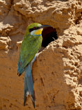Swallow-Tailed Bee-Eater (Merops Hirundineus)  Kgalagadi Transfrontier Park  South Africa