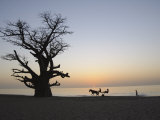 Baobab Tree  Sine Saloum Delta  Senegal  West Africa  Africa