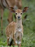 Baby Nyala (Tragelaphus Angasii)  Imfolozi Game Reserve  South Africa  Africa