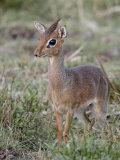 Kirk's Dik-Dik (Madoqua Kirkii)  Masai Mara National Reserve  Kenya  East Africa  Africa