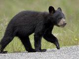 Black Bear (Ursus Americanus) Cub Crossing the Road  Alaska Highway  British Columbia  Canada