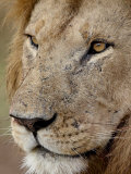 Lion (Panthera Leo) Up Close  Masai Mara National Reserve  Kenya  East Africa  Africa