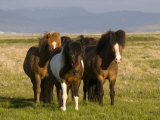 Iceland Ponies Near the Village of Skagheidi  Iceland  Polar Regions
