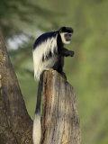 Black-And-White Colobus Monkey (Colobus Guereza)  Lake Naivasha  Kenya  East Africa  Africa