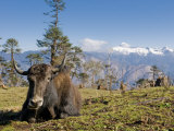 Yak Grazing on Top of the Pele La Mountain Pass with the Himalayas in the Background  Bhutan