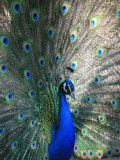 Peacock  Thessalonica  Macedonia  Greece  Europe