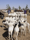 Animal Market at Ngueniene  Near Mbour  Senegal  West Africa  Africa