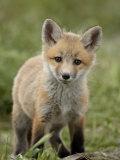 Red Fox (Vulpes Vulpes) (Vulpes Fulva) Pup  Bear River Migratory Bird Refuge  Utah  USA