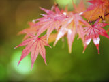 Autumn Maple Leaves  Sagano Area  Kyoto  Japan  Asia