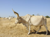 Brahman Cattle  Senegal  West Africa  Africa