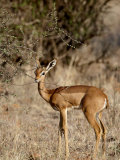 Female Gerenuk (Litocranius Walleri) Feeding  Masai Mara National Reserve  Kenya  East Africa