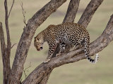 Leopard (Panthera Pardus) in a Tree  Masai Mara National Reserve  Kenya  East Africa  Africa