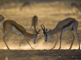 Springbok Sparring (Antidorcas Marsupialis)  Kgalagadi Transfrontier Park  South Africa  Africa