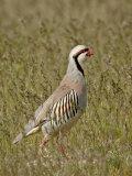 Male Chukar (Alectoris Chukar)  Antelope Island State Park  Utah  United States of America