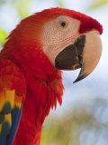 Scarlet Macaw  Roatan  Bay Islands  Honduras  Central America