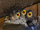 Four Barn Swallow (Hirundo Rustica)  Custer State Park  South Dakota  Usa