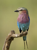 Lilac-Breasted Roller (Coracias Caudata)  Serengeti National Park  Tanzania  East Africa  Africa