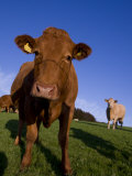 Close-Up of Cattle  North Exmoor  Devon  England  United Kingdom  Europe