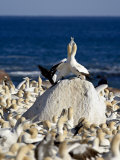 Cape Gannet (Morus Capensis) Pair Necking  Bird Island  Lambert's Bay  South Africa  Africa