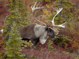 Bull Porcupine Caribou (Grant's Caribou) (Rangifer Tarandus Granti)  Denali National Park  Alaska