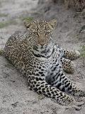 Leopard (Panthera Pardus)  Masai Mara National Reserve  Kenya  East Africa  Africa