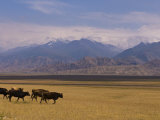 Cattle Walking Through Pastureland  Mountains in Background Torugart Pass  Kyrgyzstan  Central Asia