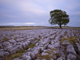 Lone Hawthorn Tree on Limestone Pavement Outside Malham  Yorkshire  England  United Kingdom  Europe