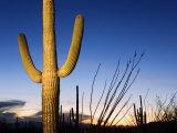 Saguaro Cactus in Tucson Mountain Park  Tucson  Arizona  United States of America  North America