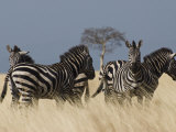 Zebras at Nechisar National Park  Arba Minch  Rift Valley Region  Ethiopia  Africa