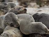 Cluster of Cape Fur Seal  Elands Bay  Western Cape Province  South Africa