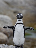 African Penguin (Spheniscus Demersus)  Simons Town  Cape Province  South Africa  Africa