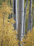 Aspen Trunks Behind Yellow Maple Leaves in the Fall  White River National Forest  Colorado  Usa