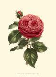 Magnificent Rose V