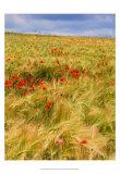 Poppies in Field II