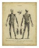 Anatomy Study II