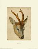 Head of a Roebuck