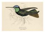 Duke of Rivolis Hummingbird