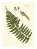 Small Antique Fern V