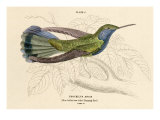 Blue Bellied Hummingbird