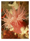 Graphic Sea Anemone I Reproduction d'art