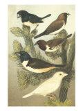 Cassel's Petite Songbirds IV