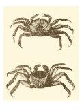 Sepia Crabs II