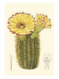 Curtis Flowering Cactus I