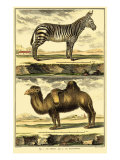 Diderot's Zebra and Camel